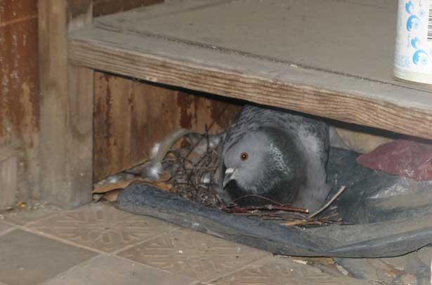 Как избавиться от голубей на балконе и его крыше, на подокон.