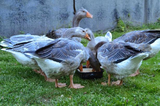 Гуси едят влажную мешанку