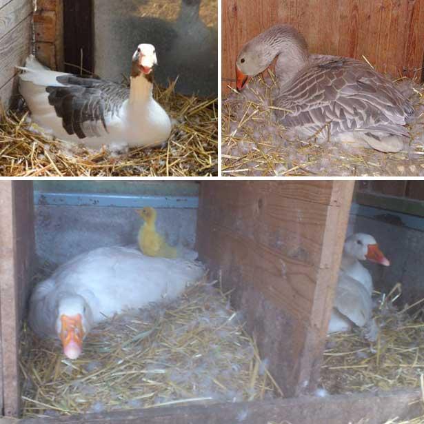 Гусыни насиживают яйца - естественная инкубация