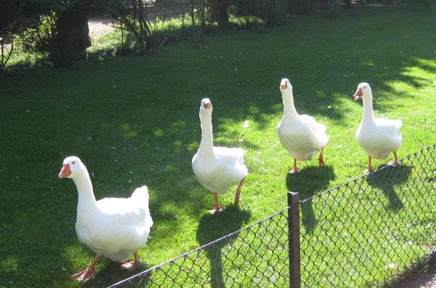 Родительское стадо гусей