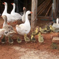 как выращивать гусей из инкубатора