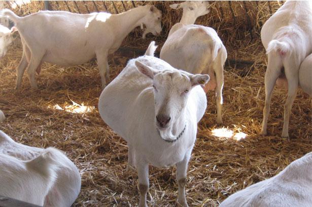 Коза беременна 3 месяца