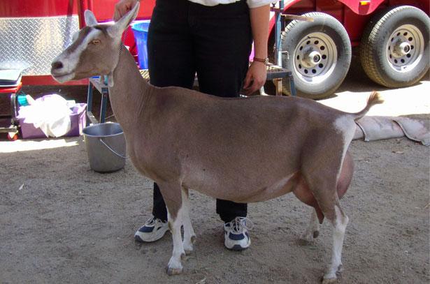 Коза тоггенбургской породы