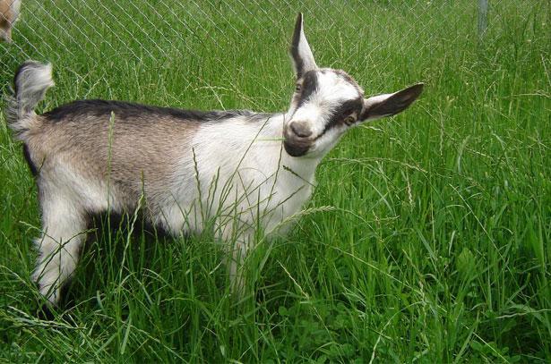 фото козы альпийской породы