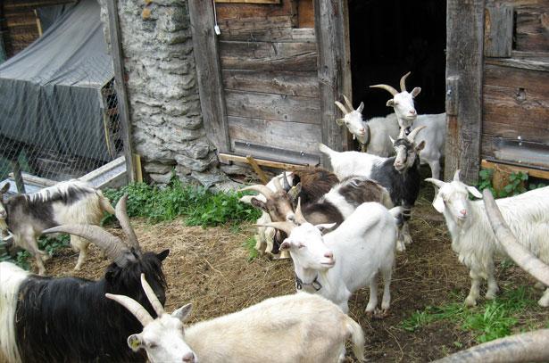 Условия содержания козы в домашних условиях