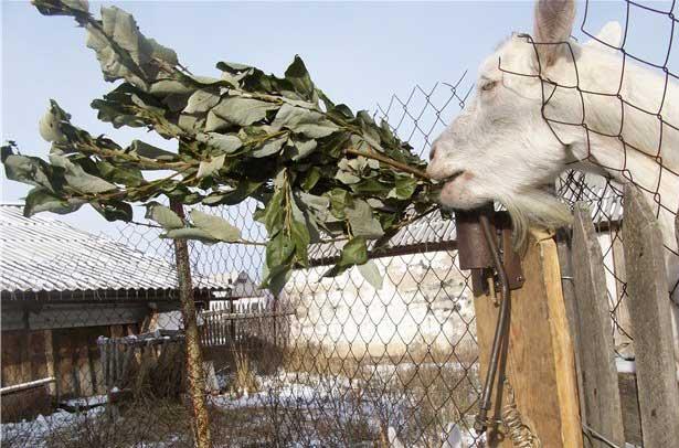 Коза ест веник