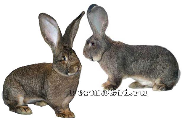 кролик ризен фото