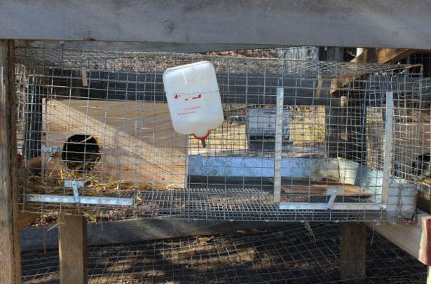Маточник в клетке у крольчихи