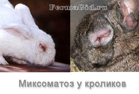 Как у кроликов лечить миксоматоз у кроликов в домашних условиях