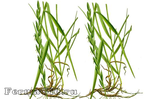 какими травами можно вывести паразитов из организма