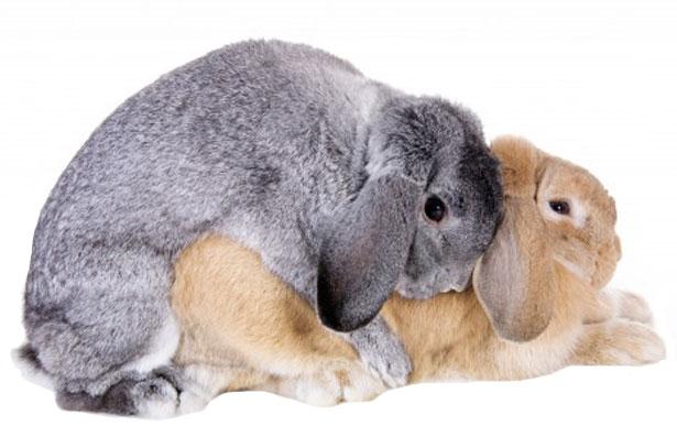 Случка и спаривание кроликов