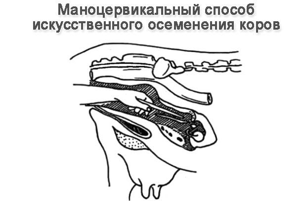 Инструкция По Искусственному Осеменению Коров - фото 7