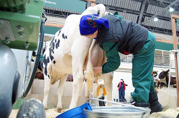Онлайн видео дойка коров руками