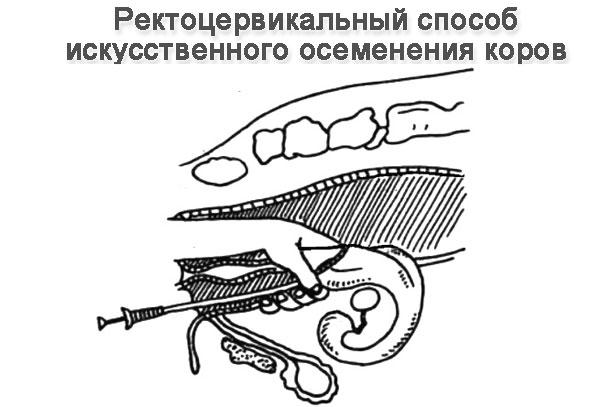 Инструкция По Искусственному Осеменению Коров - фото 4