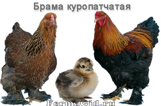 Брама куропатчатая - представители породы: курица, петух, цыпленок