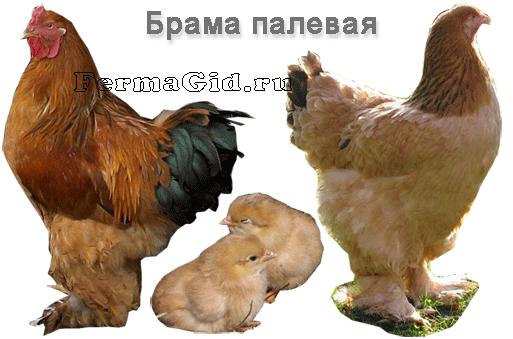 Брама палевая - представители породы: курица, петух, цыпленок