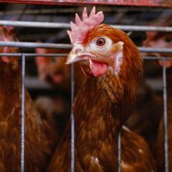 Курица за решеткой клетки