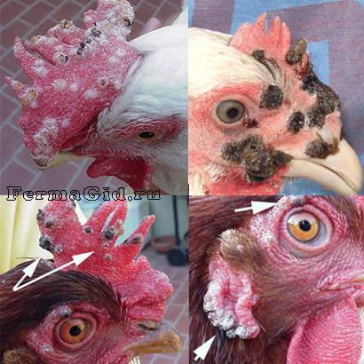 болезнь куриная оспа