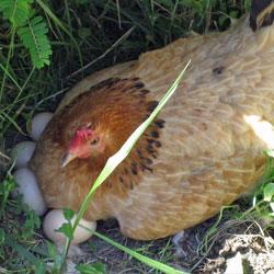 Курица высиживает яйца