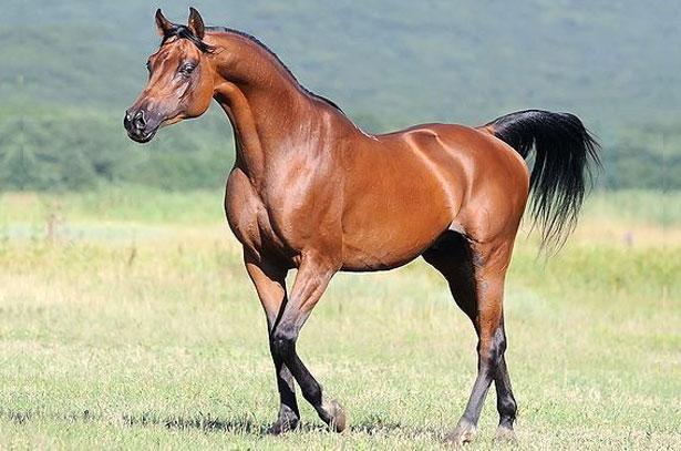 сколько стоит скаковая лошадь
