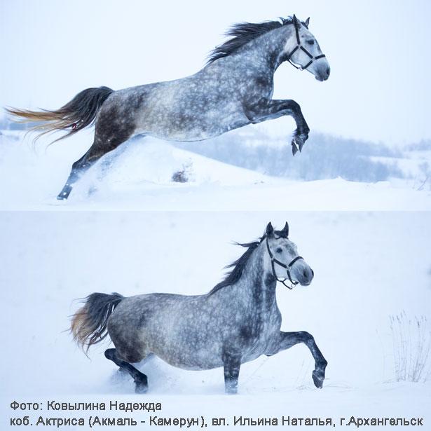 фото лошадей орловская порода
