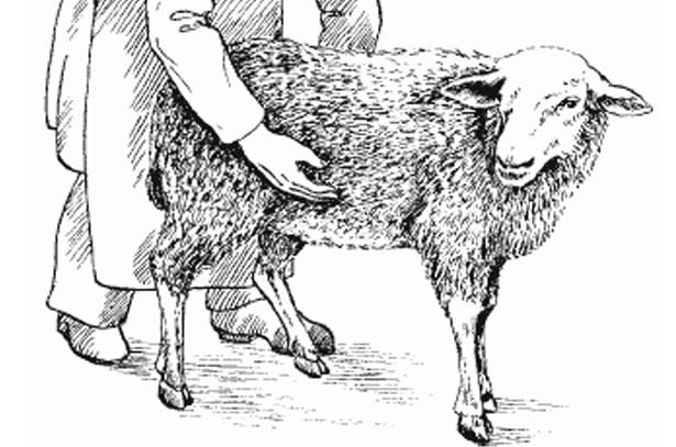 Срок беременности овцы
