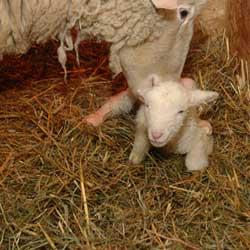 Овцы срок беременности