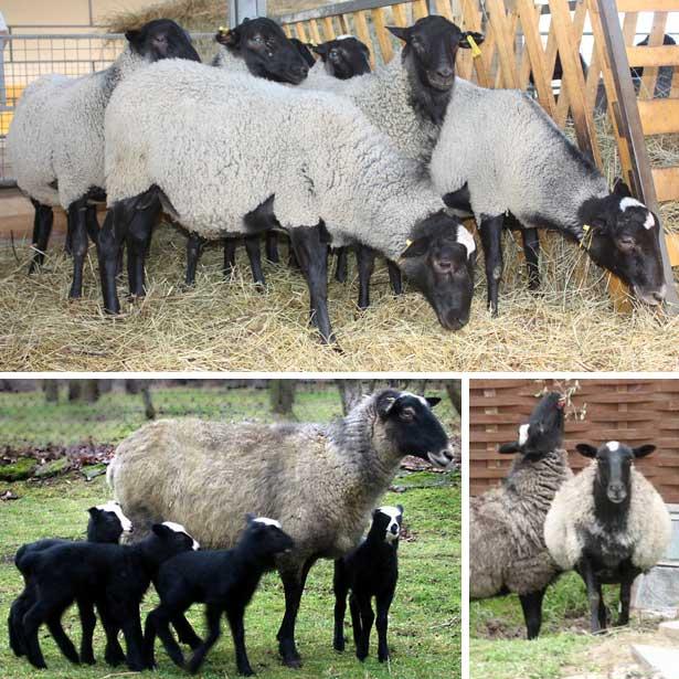породы овец с фотографиями и названиями