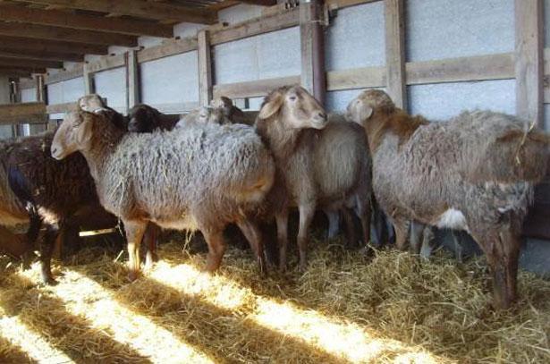 Исконно таджикская порода Гиссарские овцы и Саги Дахмарда