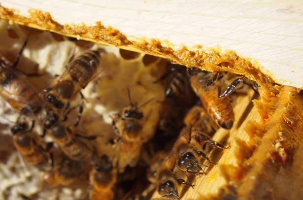 Пчелиный прополис в улье