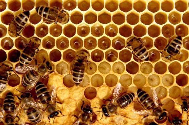 Пчелы на расплодной рамке