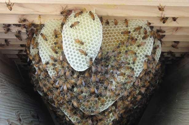 Пчелы отстраивают соты