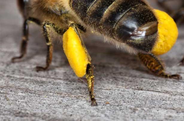 Обножка пчелиная полезные свойства