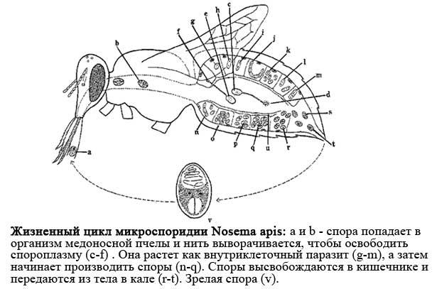 Жизненный цикл Nosema apis