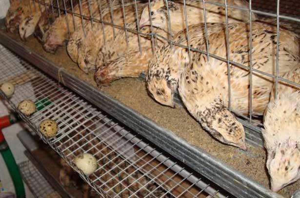 Маньчжурские золотистые перепела едят из кормушки