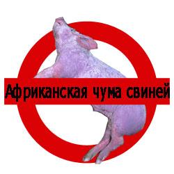 африканская чума свиней признаки заболевания фото