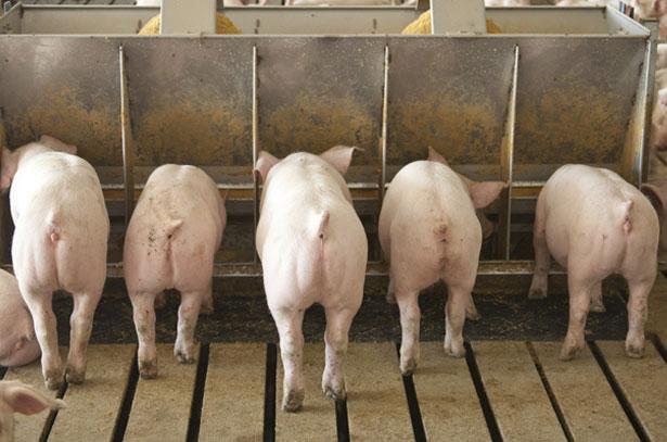 сколько корма уходит на откорм свиньи