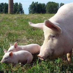 Крупная белая порода свинья с поросятами