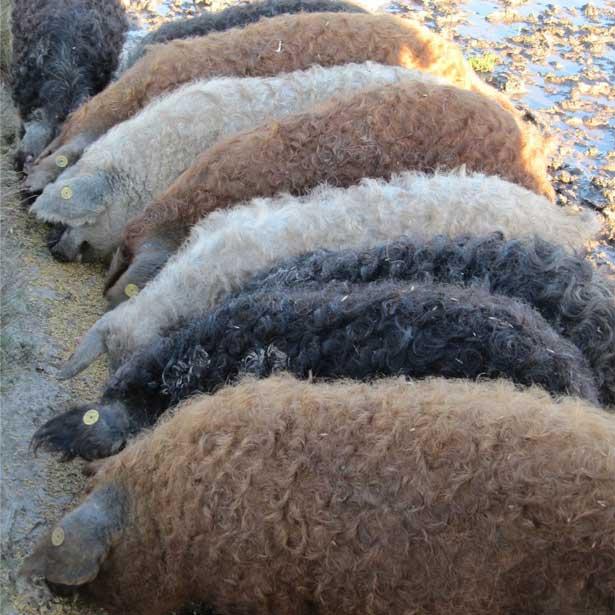 Окрасы свиней породы венгерская Мангалица