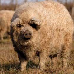 Свинья породы Мангалица