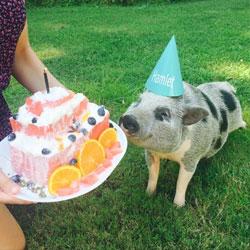 день рождения у мини свинки