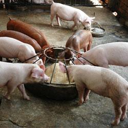 Свиньи едят корм с добавлением премикса