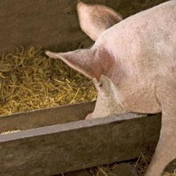 Свинья ест из кормушки