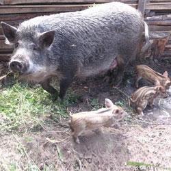 Свинья Мангал с поросятами