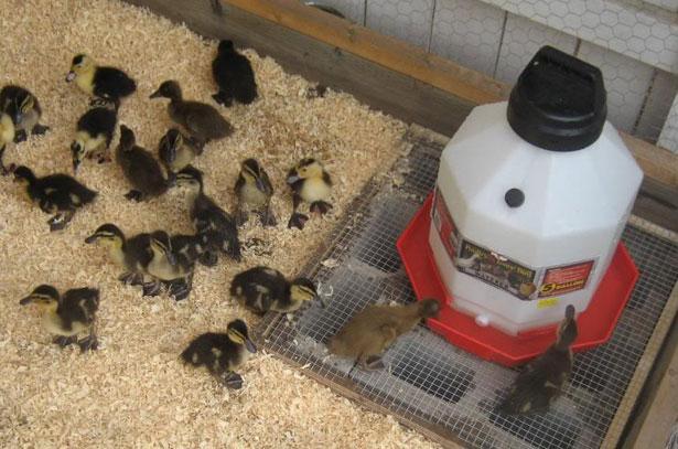 Кормушки для утят и цыплят