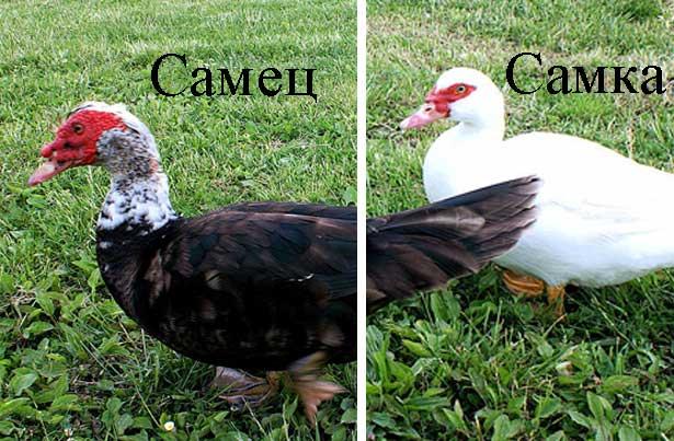 отличие селезня от утки фото
